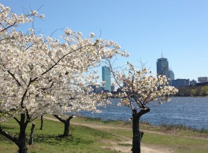 Cherry Blossoms, Boston, April 2013